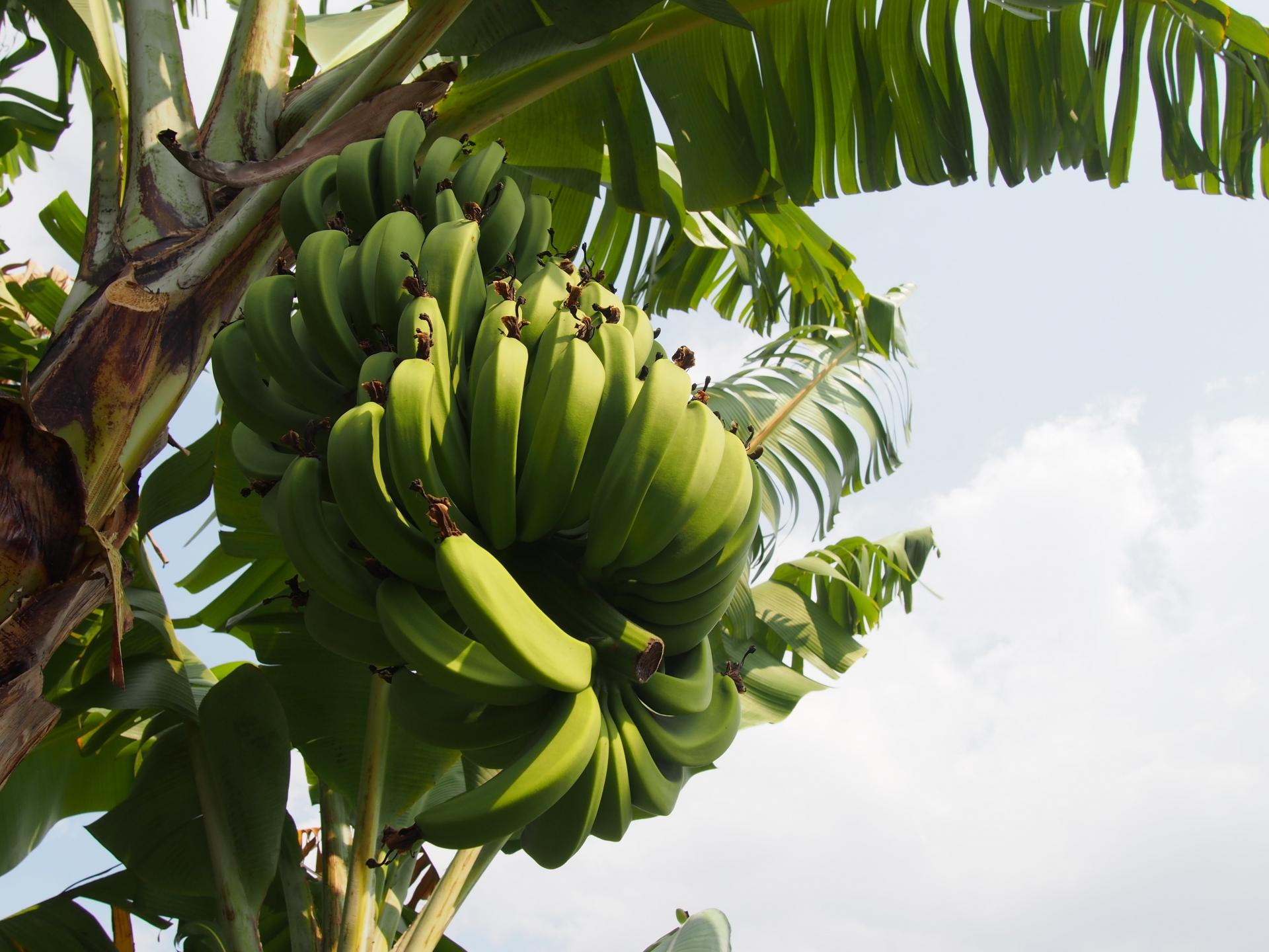 バナナとはどんな果物