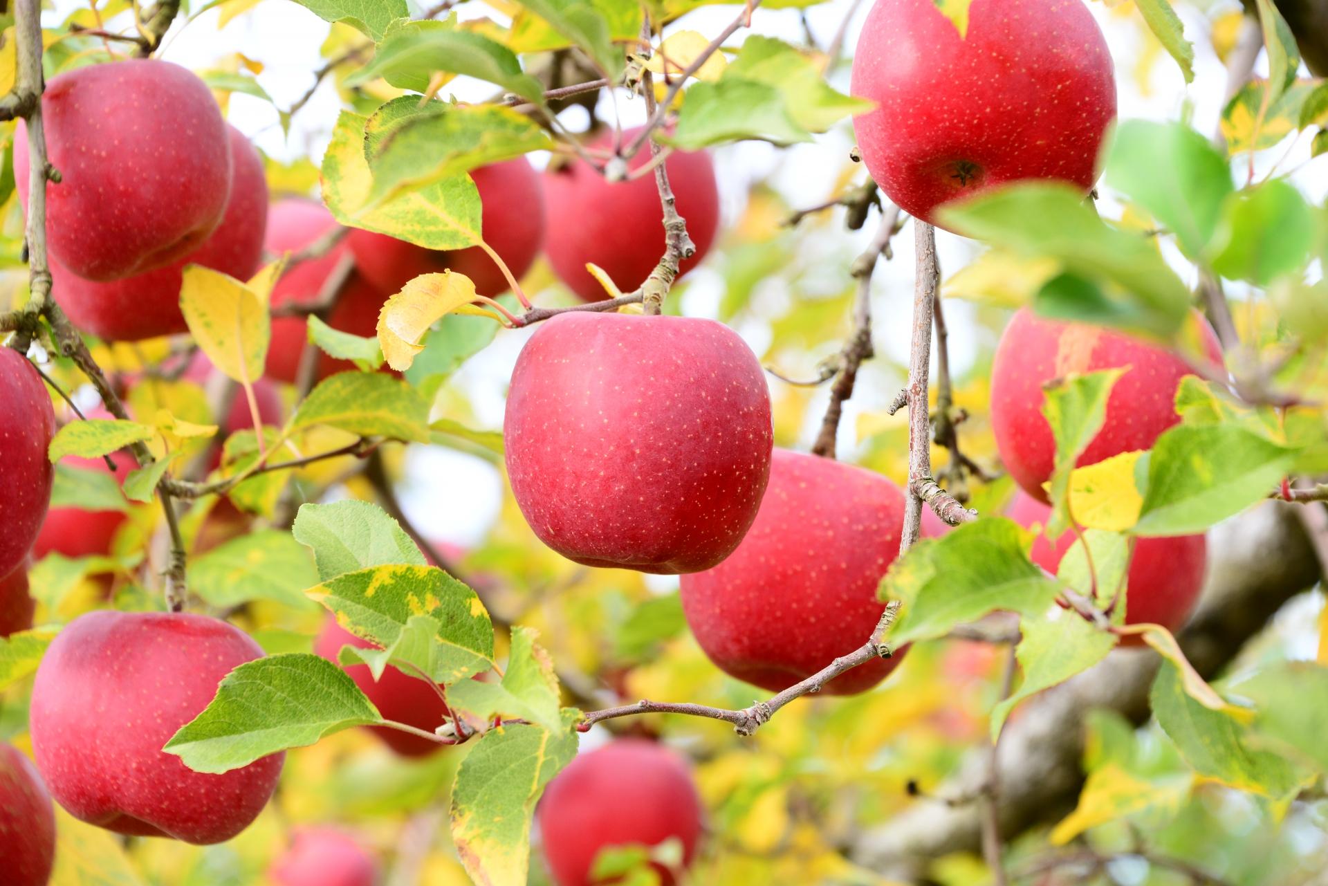 りんごの歴史