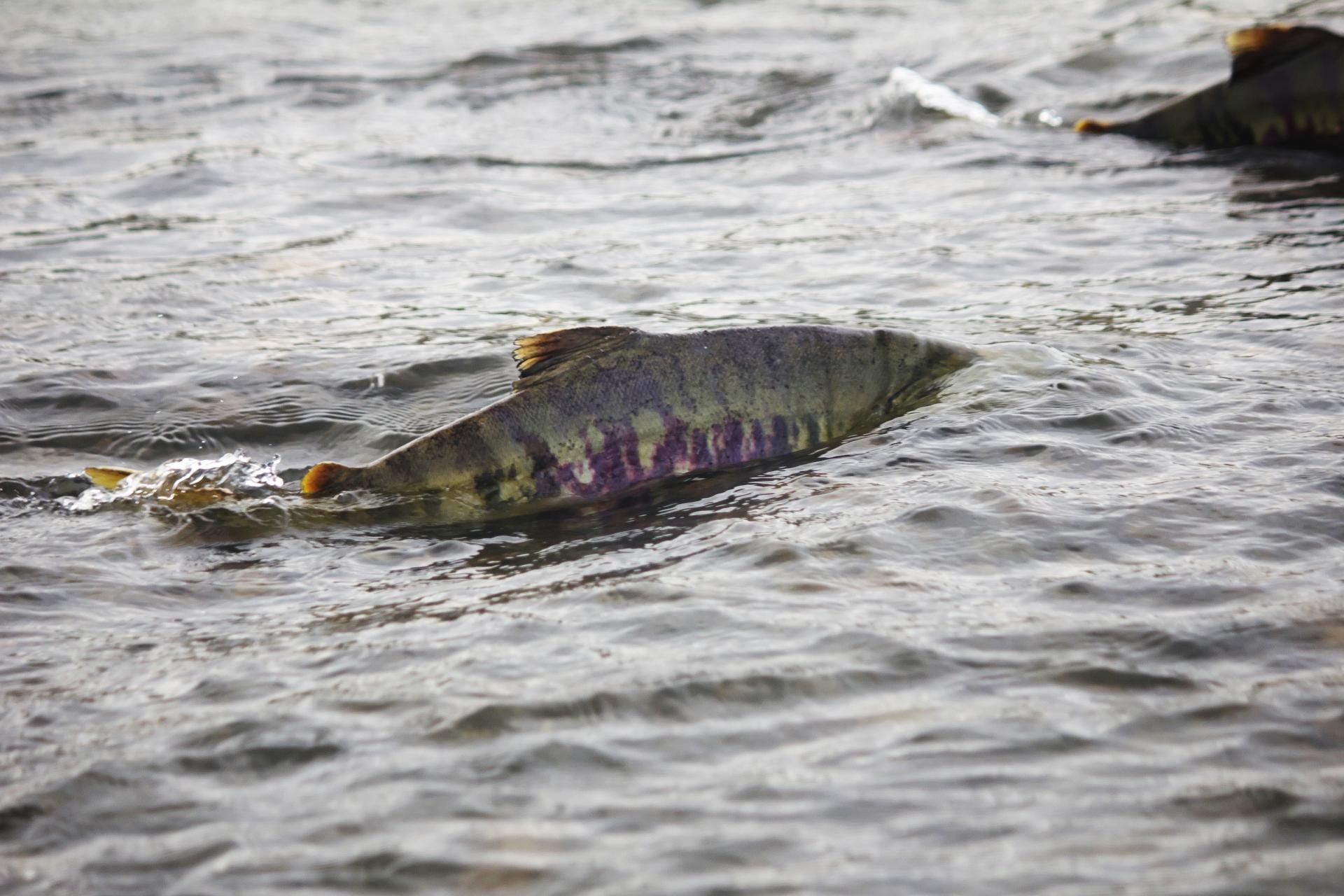 背びれが見えている鮭