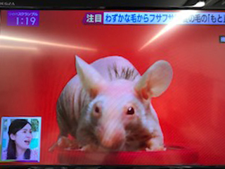 毛髪再生医療実験でマウスに毛が生えた状況を放送したテレビ番組を写真に撮った画像
