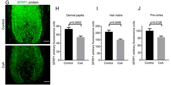 シクロスポリンA(CsA)にはSFRP1タンパク質レベルを抑制する効果があることを示した毛包の画像とグラフ