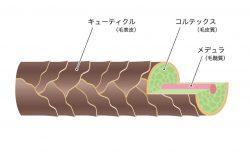 髪の毛の構造を解説。 髪の毛は3層構造で構成されている!