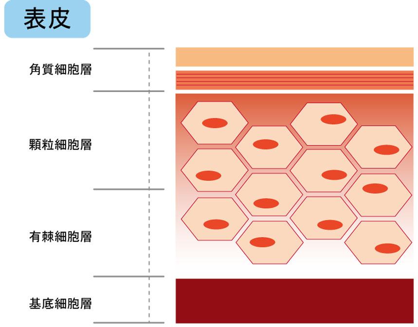 表皮をさらに詳しく説明した図解