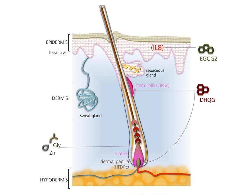 リデンシルの発毛効果とは?研究データとともに解説