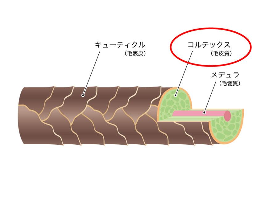 毛皮質(コルテックス)を解説した図