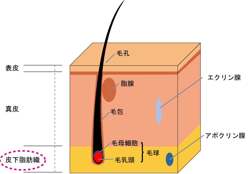 皮下脂肪織の図