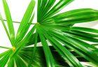 ノコギリヤシの育毛効果とは?薄毛効果のメカニズムや副作用について解説