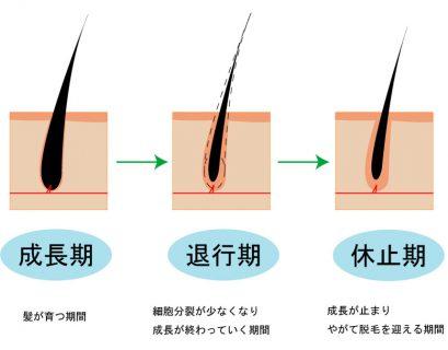 ヘアサイクル(毛周期)のまとめ。メカニズムから抜け毛対策まで徹底解説