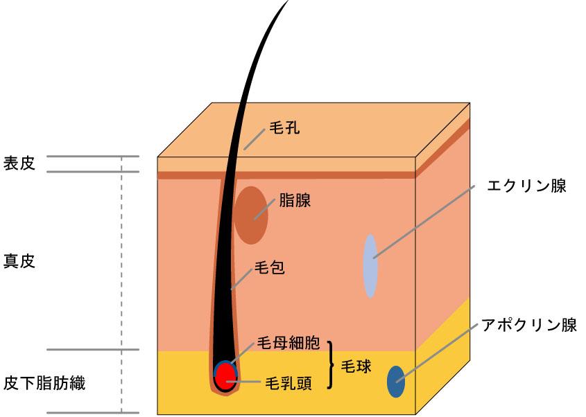 皮膚の図解