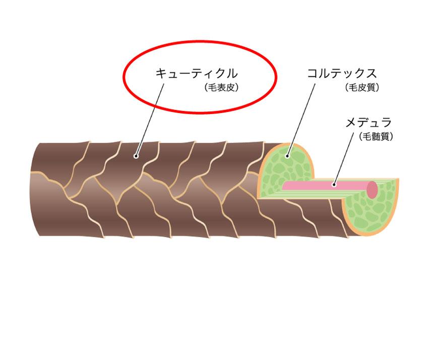 毛小皮(キューティクル)を解説した図