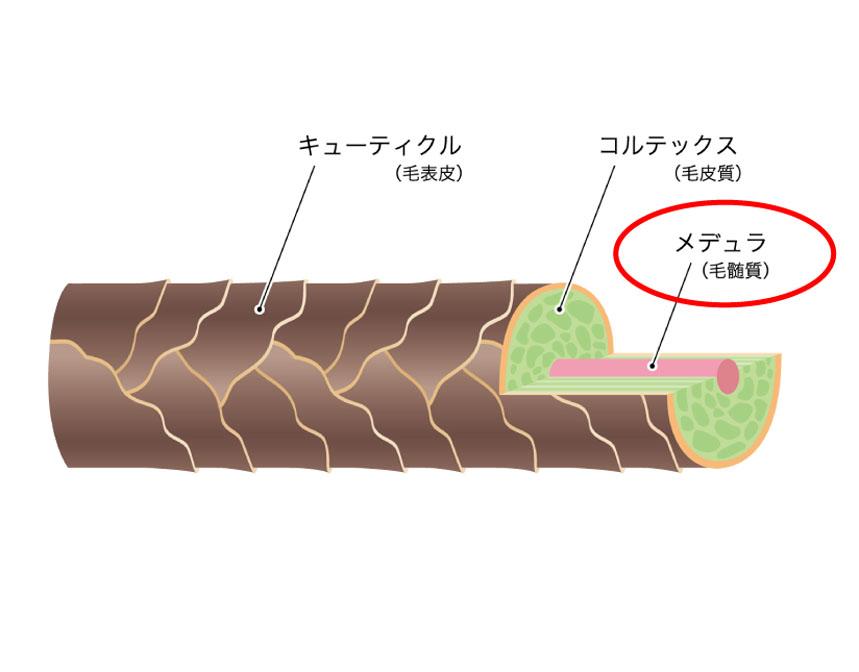 毛髄質(メデュラ)を解説した図