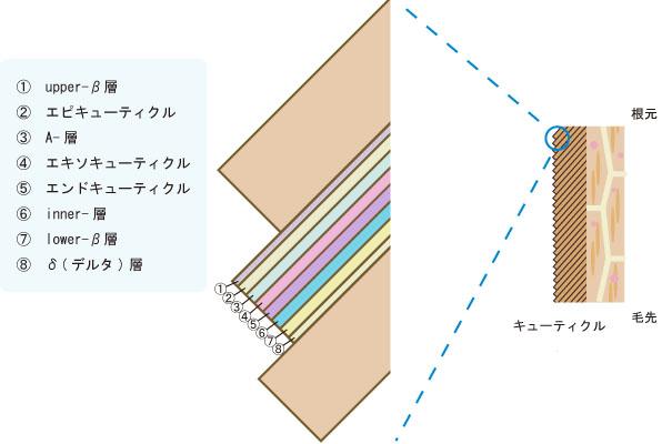 キューティクル一枚一枚の構造を解説した図