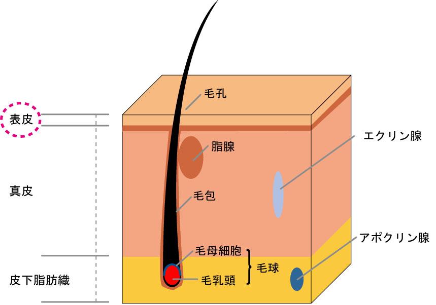 表皮の図解