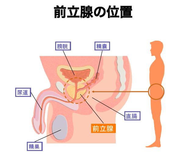 前立腺の位置を表した図