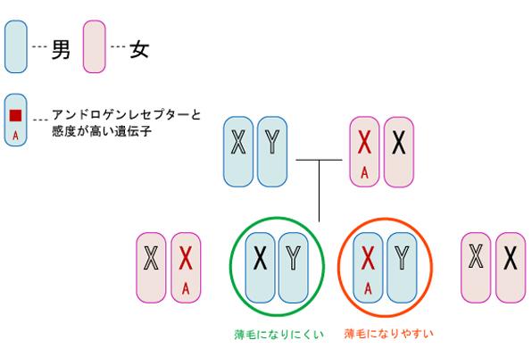 アンドロゲンレセプター(受容体)の感度の高い遺伝子は隔世遺伝するという図
