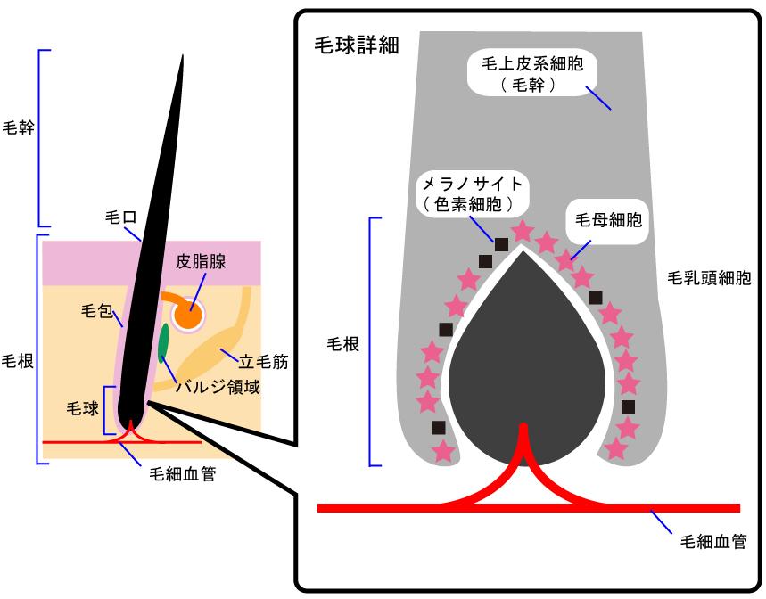毛の構造の解説図